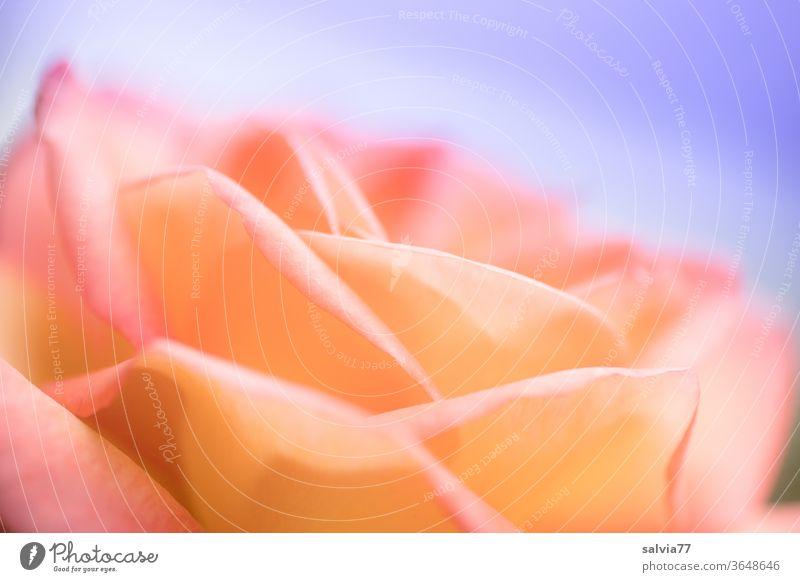 Duftrose Sunrise Rose Blüte Blume Natur Garten Farbfoto Sommer schön Pflanze orange rosa blau Schwache Tiefenschärfe Rosenblüte Blühend Unschärfe Romantik