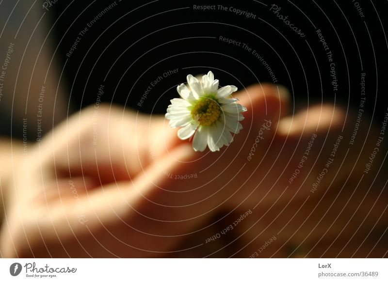 Hab mich doch lieb! Frau Mann Hand Sonne Sommer Blume Leben Blüte Gänseblümchen Heiratsantrag