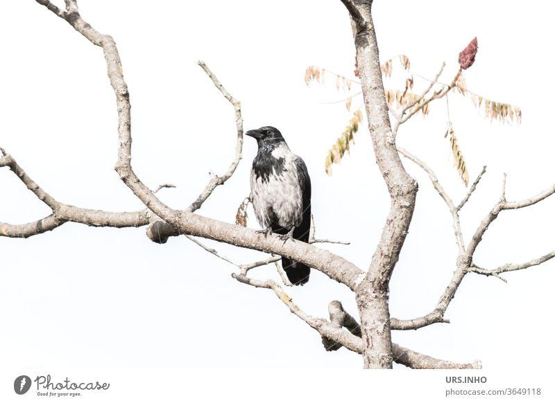 eine Nebelkrähe sitzt zwischen den Ästen eines kahlen Baumes Krähe Rabenvogel Ast hell anpassungsfähig Aaskrähe Vogel schwarz grau Tier Zweig