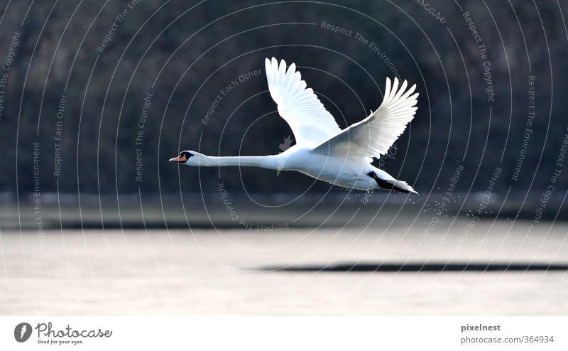 Schwan im Flug Natur schön Wasser weiß Tier Winter schwarz Bewegung Freiheit See Vogel fliegen Wildtier elegant frei ästhetisch