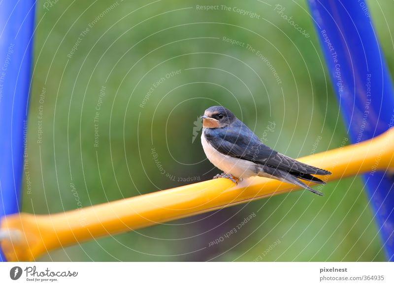 Junge Schwalbe Tier Wildtier Vogel 1 Tierjunges sitzen frei blau gelb grün Frühlingsgefühle elegant Freiheit Leichtigkeit Schwalben Singvögel Zugvogel einzeln