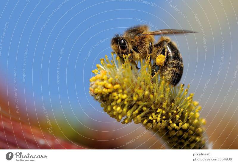 Fleißige Biene Natur Pflanze Tier Umwelt Wärme Frühling Blüte natürlich Arbeit & Erwerbstätigkeit Wildtier Schönes Wetter Blühend Insekt Biene Duft Umweltschutz