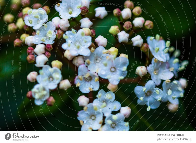 Blühender Strauch Zierstrauch Farbfoto Garten Pflanze Blume Außenaufnahme Nahaufnahme Natur Blütenblätter Blütenstempel frisch Frische Frühling Detailaufnahme