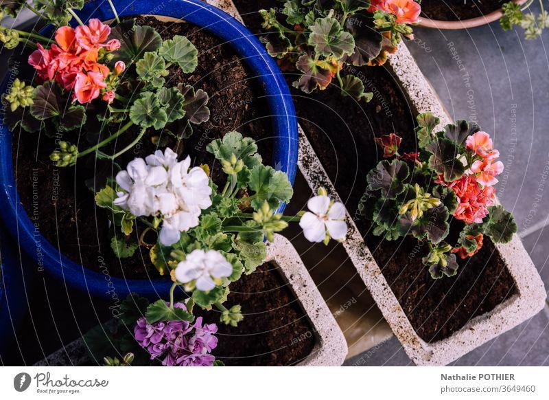 Pflanzgefässe mit Geranien Pflanzgefäße Storchschnabel Blumen floo Blumentopf Blütenpflanze Frühlingsblume Pflanze Farbfoto Frühblüher Garten Außenaufnahme