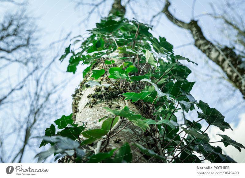 Efeu-bedeckter Baumstamm von unten gesehen Himmel Pflanze Natur Farbfoto Außenaufnahme grün Blatt Umwelt Wald Blätter Wildpflanze Grünpflanze natürlich Garten