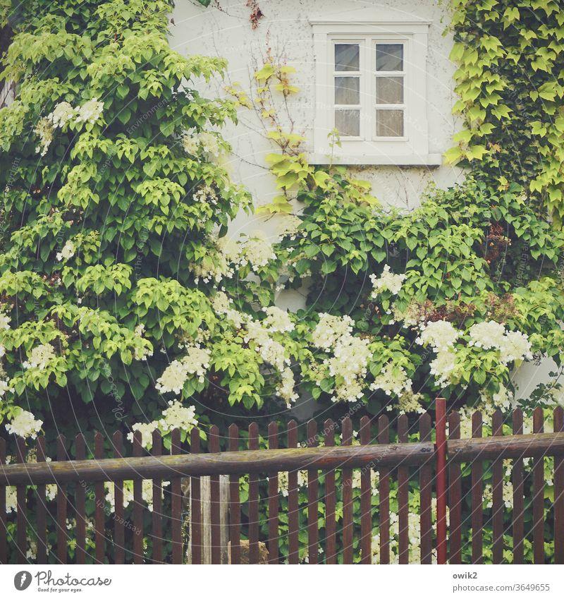 Übern Zaun Haus Fassade Fenster Pflanze blühend Blüte Blätter Hortensienblüte Frühling dörflich Idylle Farbfoto Blume Garten Außenaufnahme Nahaufnahme Natur