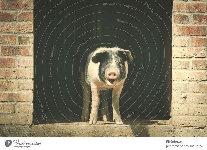Ein kleines Schweinchen schaut aus seinem Stall Schweinefleisch Farbfoto Menschenleer Außenaufnahme Bauernhof Tier Natur Säugetier dreckig niedlich Hausschwein