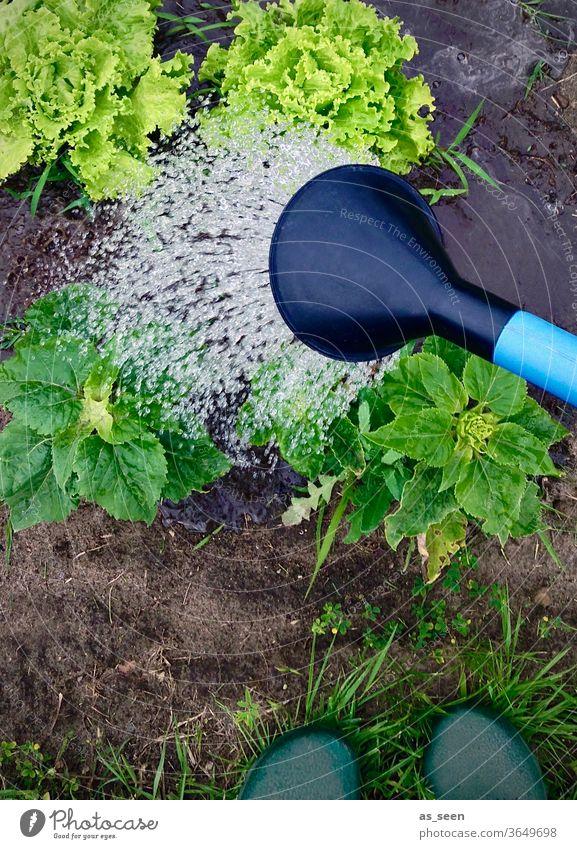 Gartenarbeit im Schrebergarten Gießkanne gießen Salat Salatkopf Gartenschuhe Clogs frisch Sommer Ernte Erde Ökologisch Ernährung vegetarisch nachhaltig Gemüse