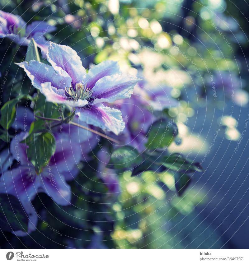 Waldrebe im Abendlicht Kletterpflanze Blüte weiß Lila Gegenlicht