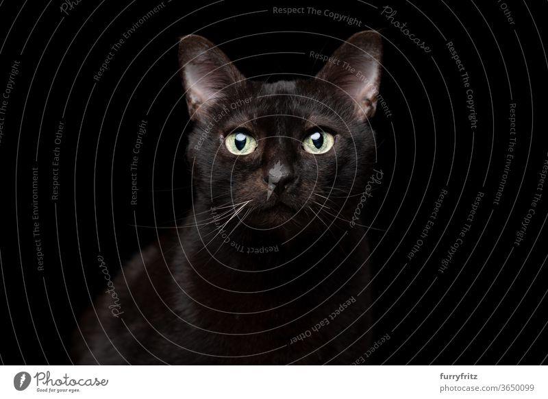 schwarze Katze auf schwarzem Hintergrund Portrait Haustiere Mischlingskatze Kurzhaarkatze Ein Tier schwarzer Hintergrund Studioaufnahme Textfreiraum