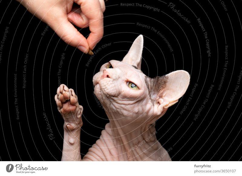 Tierbesitzer, der Sphynx Katze füttert Haustiere Rassekatze Sphynx-Katze haarlose Katze nackt knittern kahl Ein Tier schwarzer Hintergrund Studioaufnahme