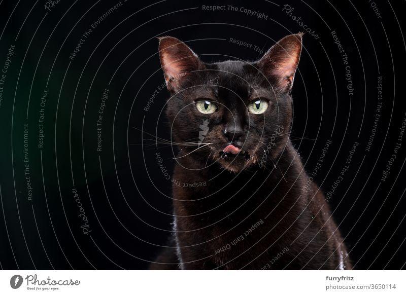 hungrige schwarze Katze leckt sich über die Lippen Haustiere Mischlingskatze Kurzhaarkatze Ein Tier Porträt schwarzer Hintergrund Textfreiraum ausschneiden