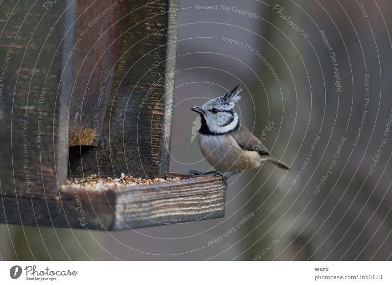 Haubenmeise im Wald bei der Vogelfütterung Lophophanes cristatus Standvogel Holz Tier einjähriger Vogel Ast Kamm Textfreiraum Federn Fliege Lebensmittel Kapuze