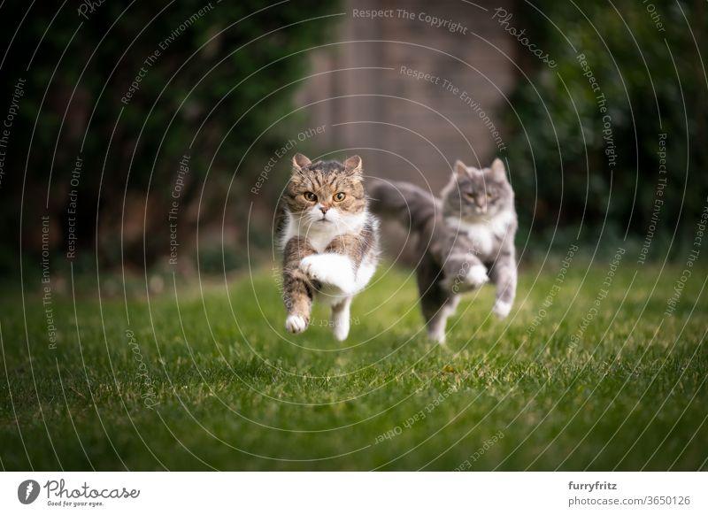 zwei Katzen rennen durch den garten Haustiere Rassekatze maine coon katze britische Kurzhaarkatze Zwei Tiere blau gestromt Tabby weiß Spielen spielerisch