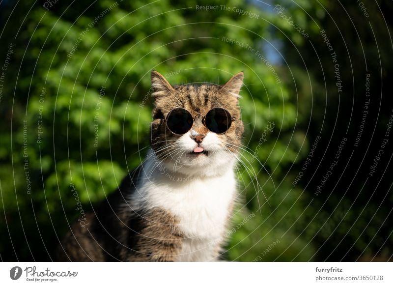 coole Katze mit Sonnenbrille Haustiere britische Kurzhaarkatze Ein Tier Tabby weiß sonnig Sonnenlicht Sommer Natur Vorder- oder Hinterhof Garten grün Pflanzen