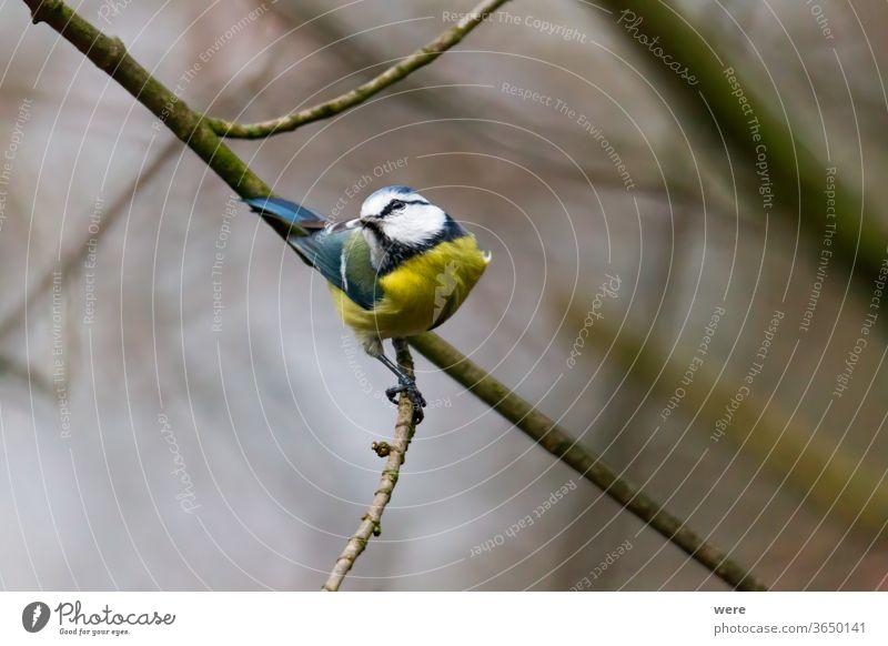 Blaumeise auf einem Ast Kohlmeise Cyanistes caeruleus Parus Ater parus major Periparus Ater Wintervogel Tier Vogel Vogelfütterung Zweigstelle Niederlassungen
