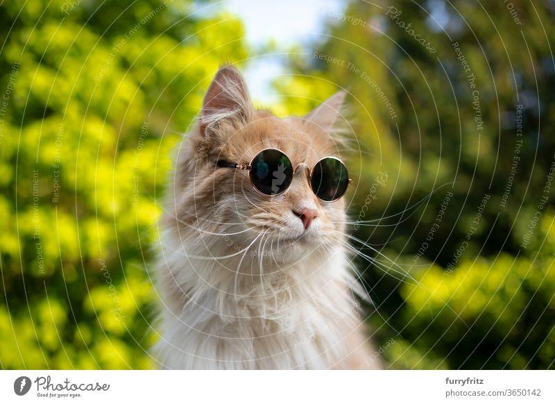 coole maine coon katze mit sonnenbrille Katze Haustiere Rassekatze Ein Tier cremefarben beige weiß Natur Vorder- oder Hinterhof Garten grün Pflanzen Porträt