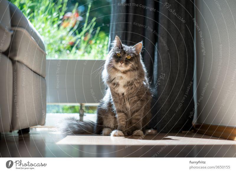 Katze, die im Sonnenlicht am Fenster sitzt Haustiere Rassekatze maine coon katze Ein Tier blau gestromt Sitzen in die Kamera schauen im Innenbereich