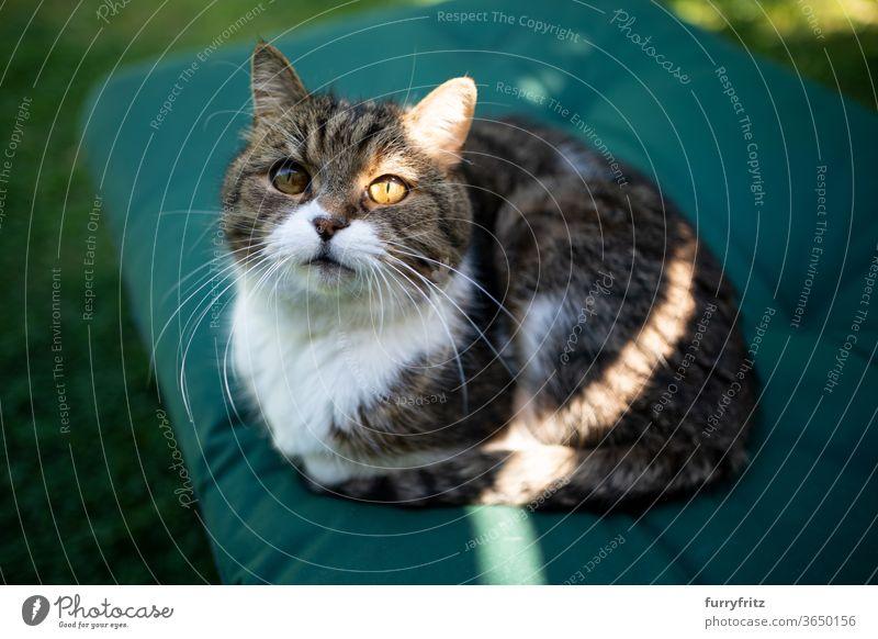 Katze im Sonnenlicht Haustiere Rassekatze britische Kurzhaarkatze Ein Tier Tabby weiß sonnig Sommer grün im Freien beleuchtet tierisches Auge Blick aussruhen