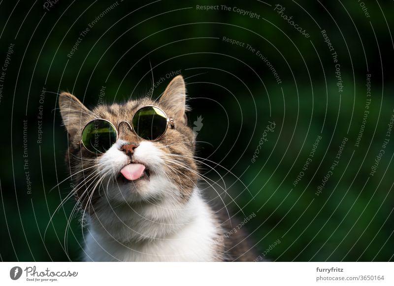 freche Katze mit Sonnenbrille streckt die Zunge heraus Haustiere Rassekatze britische Kurzhaarkatze Ein Tier Tabby weiß grün im Freien Schirme tragend cool