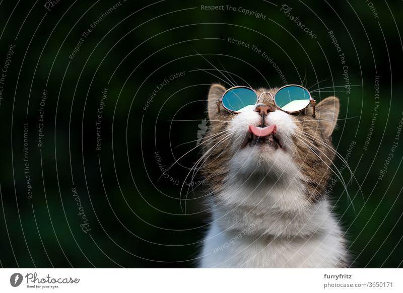 Katze mit Sonnenbrille, die in den Himmel schaut Haustiere Rassekatze britische Kurzhaarkatze Ein Tier Tabby weiß grün im Freien Schirme tragend cool lustig