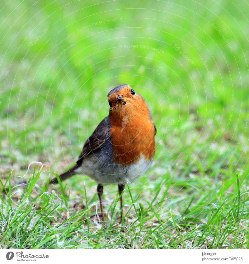 was is los Alter? Tier Wildtier Vogel 1 beobachten Blick klein grün rot Tierliebe Rotkehlchen Sperlingsvögel zutraulich provozierend Farbfoto mehrfarbig