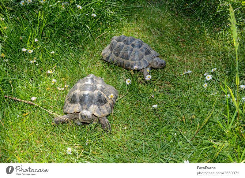 Zwei Schildkröten laufen auf grüner Wiese Gras Lebewesen Porträt Blumen Margeriten langsam Tag braun Arten Tier Landschildkröte zwei exotisch Natur außerhalb