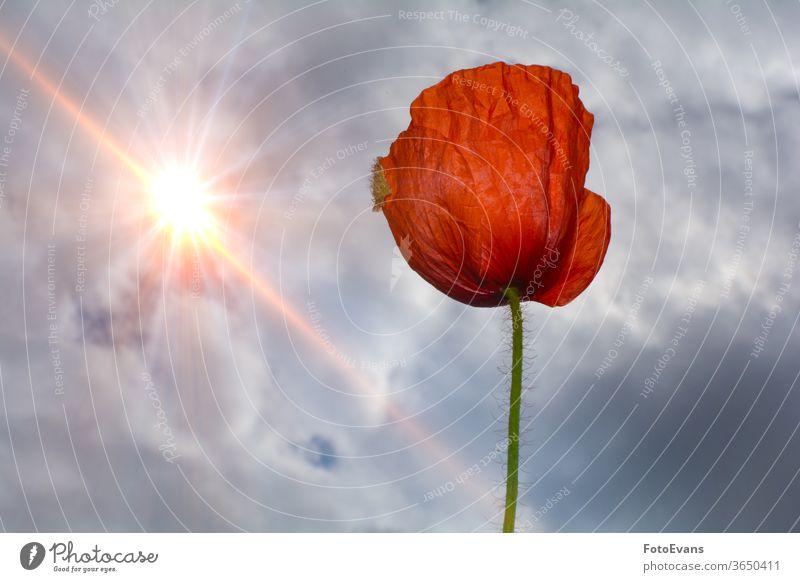 Einzelne rote Mohnblume mit Himmel und Sonne Sommerblume Frühling Natur Postkarte Klatschmohn Sonnenstrahlen Blüte Blume Pflanze Tag Wiese eine Hintergrund