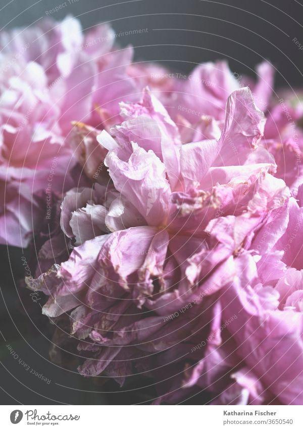 Blütenblätter einer Pfingstrose Blumen bluten rosa Pflanze Farbfoto Natur Frühling bereits Nahaufnahme Sommer frisch natürlich Blütenblatt Blühend Blütenknospen