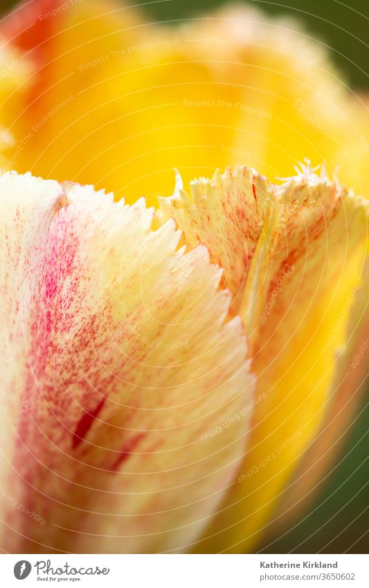 Pfirsich-Tulpenblatt Blume Natur gelb orange Blütenblatt Nahaufnahme Makro Frühling saisonbedingt Saison Garten Gartenarbeit Textfreiraum vertikal natürlich