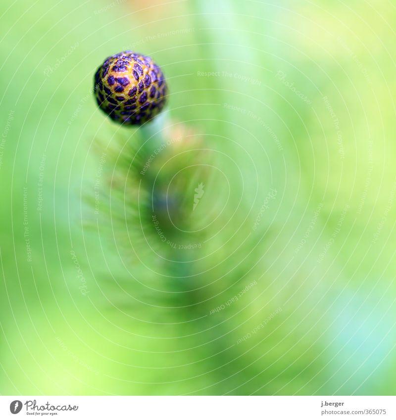 kugelrund Natur Pflanze Sommer Blüte Wildpflanze Wachstum ästhetisch außergewöhnlich grün Kugel Botanik Unschärfe Schachtelhalm Equisetum Farbfoto
