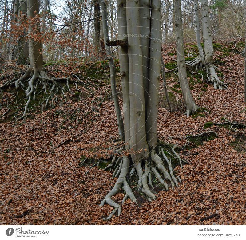 Mehrere hell graue Baumstämme haben ihre Wurzel draußen, zwischen den rötlichen Blätter auf dem grünen, von Moos bedecktem hügeligen Boden. Baumstamm Wald Ast