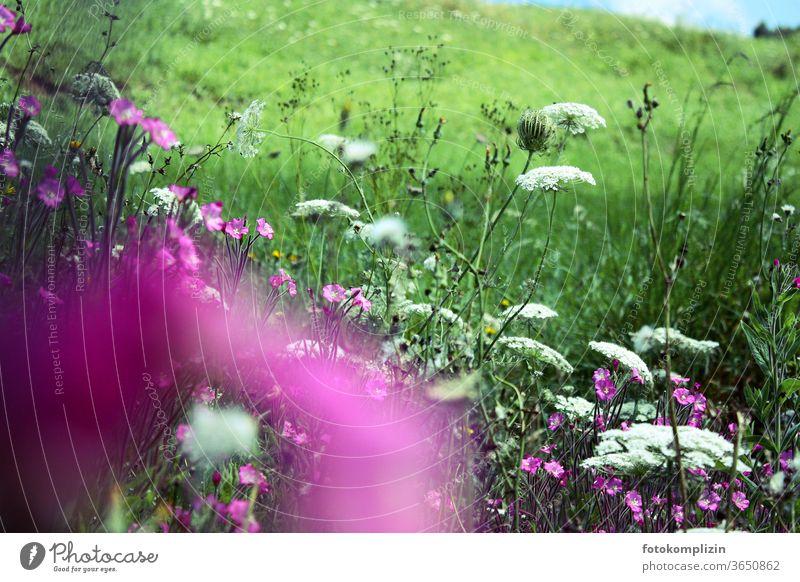 rosa lila weiße Wiesenblumen Blume Blühend Blüte Unschärfe blühen Blumen Naturliebe Sommer Feldflora Wegblumen Feldblumen erblühen zart Blüten leuchtend