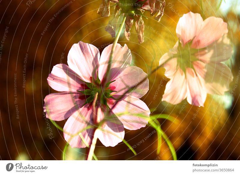 rosa Cosmea Blüten im goldenen Herbstlicht Spätsommer Blühend Blume Blumen Naturliebe Blütenblatt Gartenpflanzen Indian Summer Unschärfe Schwache Tiefenschärfe