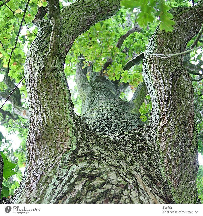 Eine Eiche ganz nah alte Eiche Baumstamm Eichenbaum alter Baum Ast Äste Baumrinde Eichenblätter Eichenblatt Zweig Äste und Zweige Holz wachsen Zweige u. Äste