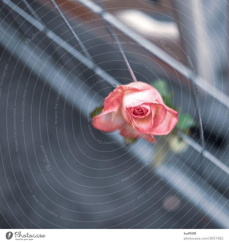 die Rose am Absprerrgitter Blume Hoffnung Hoffnungsstrahl 1 Barriere Baustelle Absperrung Zaun Gitter Metallzaun Zäune Sicherheit Bauzaun Straßenbau abstrakt