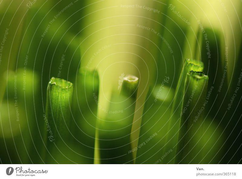ge(SCNITT)ener (LAUCH) Natur grün Pflanze gelb Garten frisch Kräuter & Gewürze geschnitten Grünpflanze Nutzpflanze Schnittlauch
