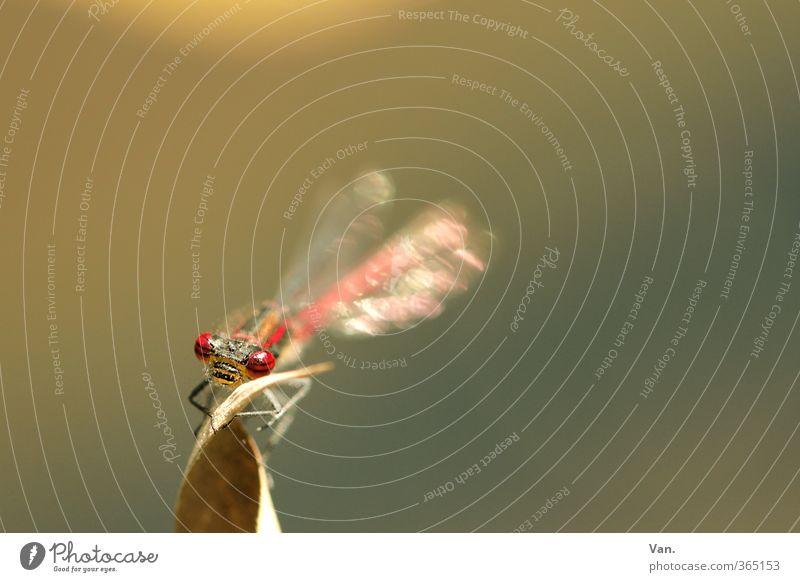 Da seh' ich rot Natur Pflanze Blatt Tier Wildtier Libelle Insekt Auge 1 fliegen braun Farbfoto Gedeckte Farben Außenaufnahme Menschenleer Textfreiraum rechts