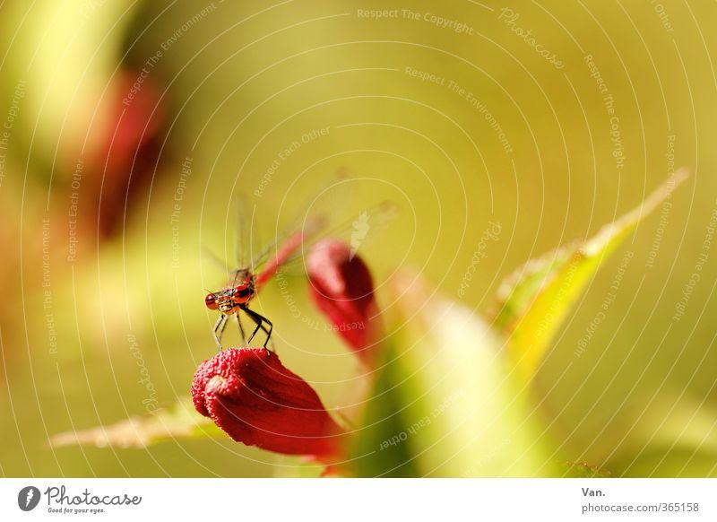 Drachenfliege Natur Frühling Pflanze Sträucher Blatt Blüte Garten Tier Wildtier Libelle Insekt 1 gelb grün rot Farbfoto mehrfarbig Außenaufnahme Nahaufnahme