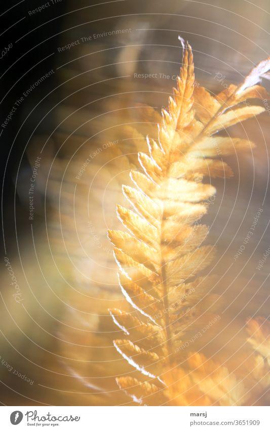 Goldener Farn mit Wischeffekt Pflanze Herbstfärbung Farbfoto herbstlich verträumt Schliere durchleuchtet träumen Natur Entschlossenheit außergewöhnlich leuchten
