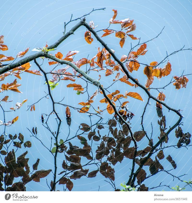 narzisstischer Buchenzweig See Herbst Blatt Zweig Herbstlaub blau braun Reflexion & Spiegelung Teich Seeufer orange hell natürlich leuchten Wasser rotbraun