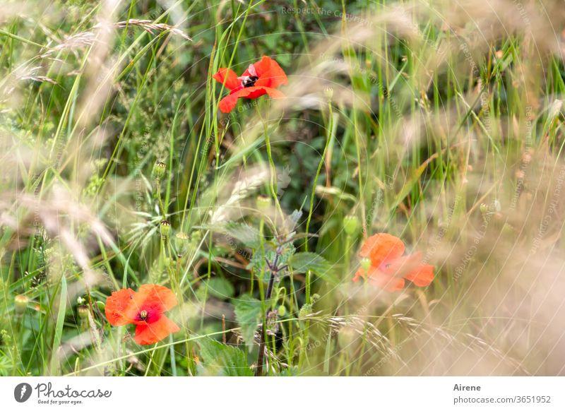 für drei Mohntage Blume Wiese Gras Wiesenblume rot grün Optimismus Lebensfreude Natur Blühend natürlich Wachstum Pflanze Getreide Halme Minze Grashalme wild
