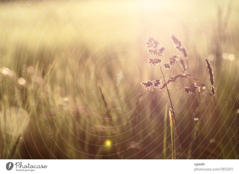 Sommerwärme II Natur Sommer Pflanze Erholung gelb Wiese Wärme Gras hell braun Feld gold Zufriedenheit Wachstum leuchten Schönes Wetter