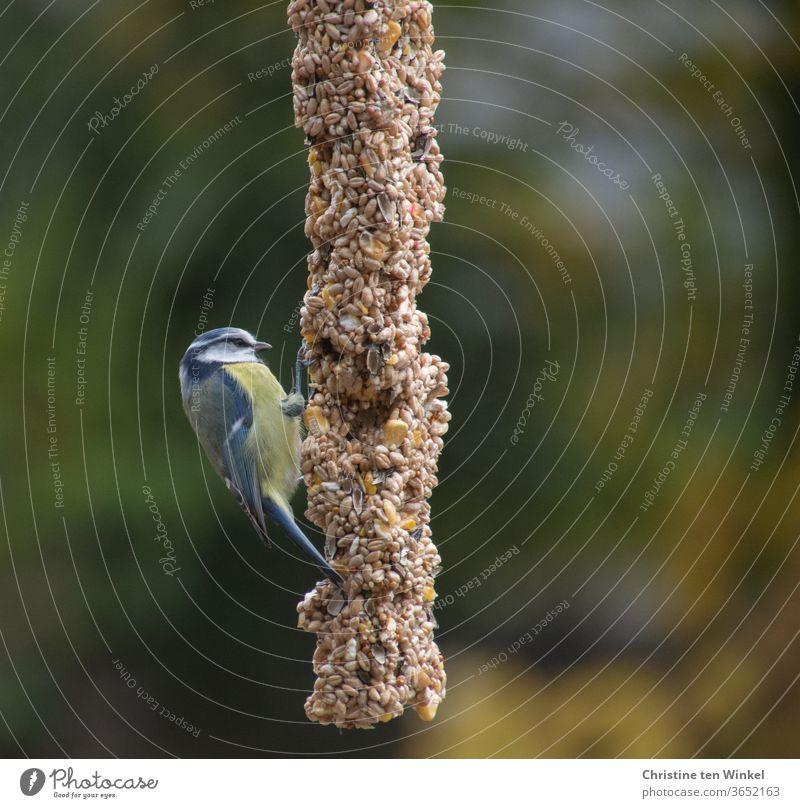 Die kleine Blaumeise (Cyanistes caeruleus) war hungrig und hocherfreut über die reiche Auswahl an Sämereien an der Futterstange Meise Singvogel Vogelfütterung