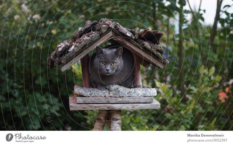 Ich glaub ich hab nen Vogel katze Katze katzenhaft Haustiere Rassekatze fluffig schön niedlich Fell Samtpfote Fellnase Britisch Kurzhaar Vogelhaus Vogelhäuschen