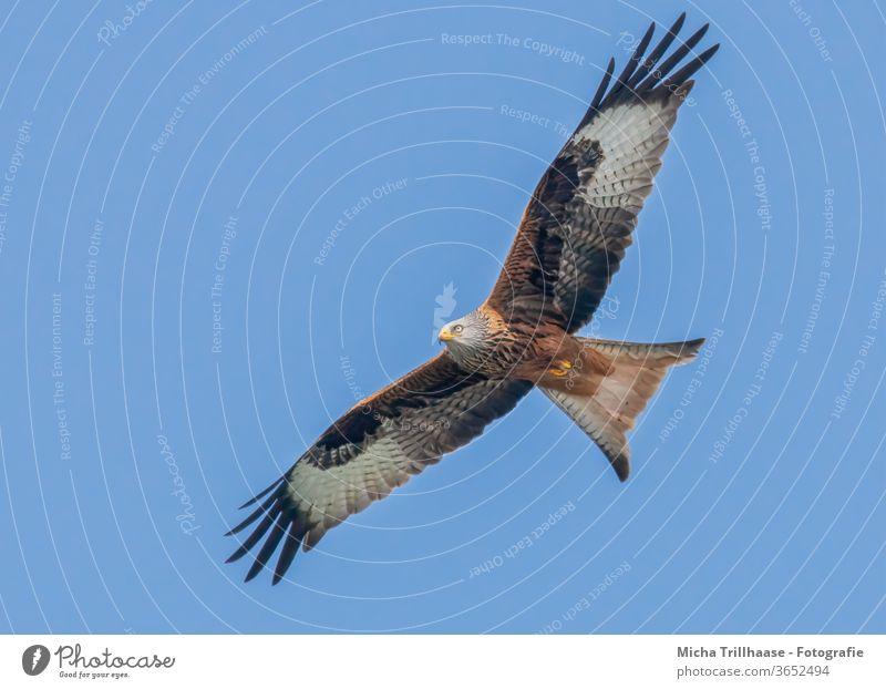 Rotmilan im Flug Roter Milan Milvus milvus Vogel im Flug Greifvogel Kopf Schnabel Auge Flügel Flügelspanne Federn Gefieder Flügelschlag Himmel Sonnenschein