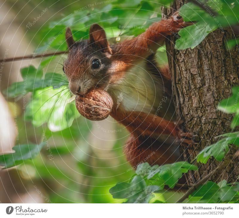 Eichhörnchen mit Nuss im Maul Sciurus vulgaris Kopf Auge Pfote Krallen Tiergesicht Fell Baum Baumstamm Fressen festhalten Neugier beobachten Nase Ohr Wildtier
