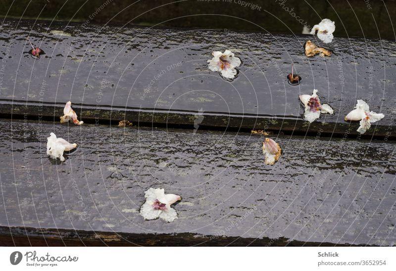 Abgefallene Blüten der Rosskastanie liegen auf einer nassen Parkbank im Regen Nahaufnahme Regenwetter Sommerregen Detail Holz abfallen