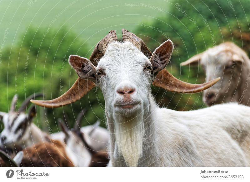 Ziegenbock auf einer Weide blickt direkt in die Kamera ziege chef anführer souverän stur portrait lustig wild lebende tiere herde natur Hörner bauernhof berg