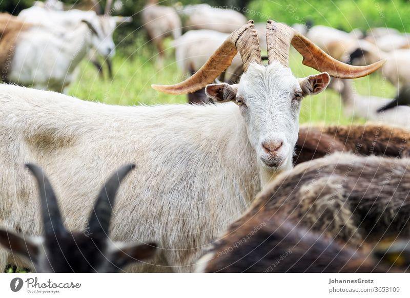Ziegenbock auf einer Weide blickt direkt in die Kamera ziege souverän stur portrait lustig wild lebende tiere herde süß natur Hörner braun bauernhof berg fell